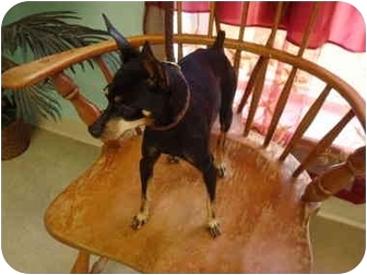 Miniature Pinscher Dog for adoption in Nichols Hills, Oklahoma - Ricky