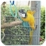 Photo 2 - Macaw for adoption in Fountain Valley, California - Blue