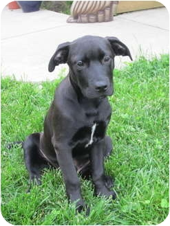 Labrador Retriever/Boxer Mix Puppy for adoption in Bel Air, Maryland - Inky