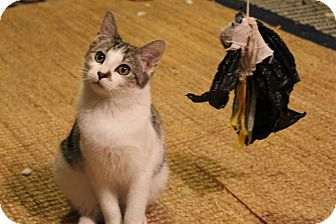 Domestic Shorthair Kitten for adoption in Edgewater, New Jersey - Emmie