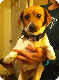 Beagle Mix Dog for adoption in McKeesport, Pennsylvania - Peanut