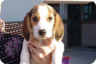 Beagle Mix Puppy for adoption in Elyria, Ohio - Dottie