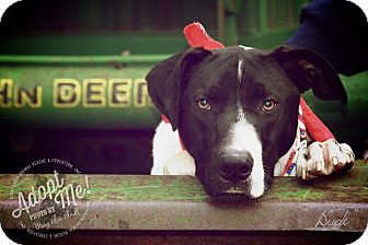Pointer/Hound (Unknown Type) Mix Dog for adoption in Albany, New York - DUDE