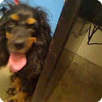 Adopt A Pet :: Corkie ADOPTED!! - Antioch, IL