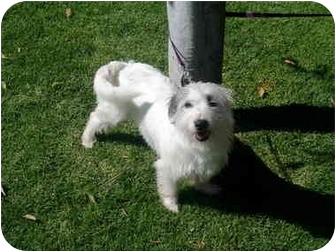 Tibetan Terrier Mix Dog for adoption in Albuquerque, New Mexico - Pancha