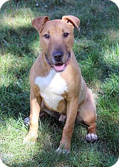 Bull Terrier Mix Dog for adoption in Westminster, Colorado - Milo