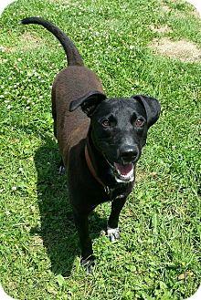 Labrador Retriever Mix Dog for adoption in Lisbon, Ohio - Waldo