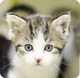 Domestic Shorthair Kitten for adoption in Adrian, Michigan - London