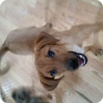 Labrador Retriever Mix Dog for adoption in Detroit, Michigan - Summer