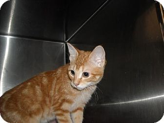 Domestic Shorthair Cat for adoption in Fort Walton Beach, Florida - Tracy