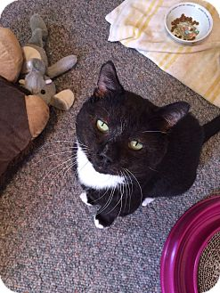 Domestic Shorthair Cat for adoption in Philadelphia, Pennsylvania - DEX!