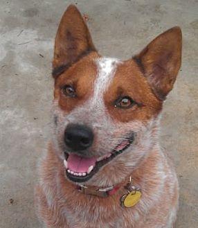 Australian Cattle Dog Dog for adoption in Remus, Michigan - ACD Sr Jack is Back
