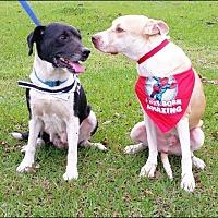 Labrador Retriever Mix Dog for adoption in Huntington, New York - Larson - N