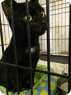Domestic Shorthair Cat for adoption in Byron Center, Michigan - Ziggy