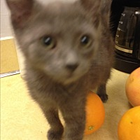 Russian Blue Kitten for adoption in Sunny Isles Beach, Florida - Lila