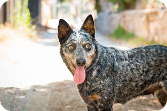 Australian Cattle Dog/Cattle Dog Mix Dog for adoption in Los Angeles, California - Merle Streep
