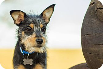 Yorkie, Yorkshire Terrier/Schnauzer (Miniature) Mix Dog for adoption in Georgetown, Kentucky - Slim