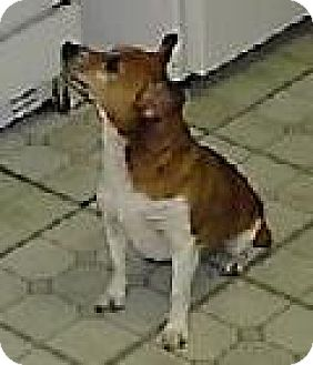 Chihuahua Mix Dog for adoption in DeLand, Florida - Joy