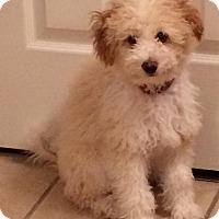 Adopt A Pet :: Tavia - Houston, TX
