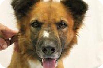 Shepherd (Unknown Type)/Chow Chow Mix Dog for adoption in Huachuca City, Arizona - Duke