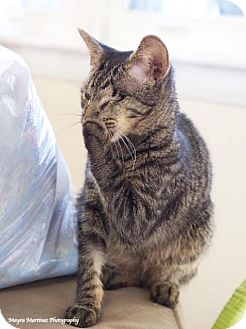 Domestic Shorthair Kitten for adoption in Homewood, Alabama - Sparrow *Special Needs*