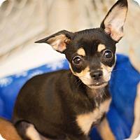 Adopt A Pet :: JillyBoo Jones - Millersville, MD