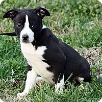 Adopt A Pet :: Liam - Plainfield, CT