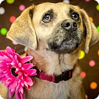 Pug/Beagle Mix Dog for adoption in Glastonbury, Connecticut - Camilla-pending