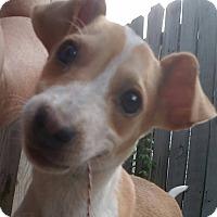 Adopt A Pet :: Micky - ST LOUIS, MO