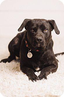 Labrador Retriever Mix Dog for adoption in Portland, Oregon - Malone