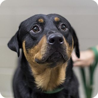 Rottweiler/Mixed Breed (Large) Mix Dog for adoption in Severance, Colorado - SAMMY
