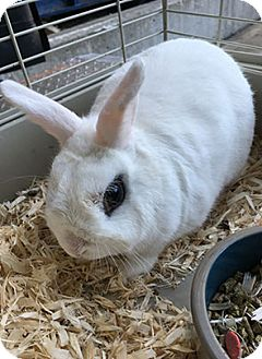 Dwarf Hotot Mix for adoption in Patterson, New York - Bean