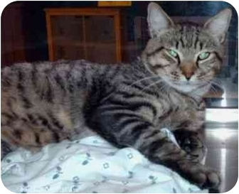 Domestic Shorthair Cat for adoption in New Port Richey, Florida - Seymour