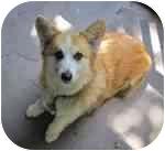 Pembroke Welsh Corgi Dog for adoption in Lomita, California - Ozzie