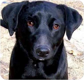 Labrador Retriever Mix Dog for adoption in Pawling, New York - GRACIE