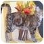 Photo 2 - Domestic Shorthair Cat for adoption in Murphysboro, Illinois - Gypsy