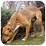 Photo 3 - Labrador Retriever/American Pit Bull Terrier Mix Dog for adoption in Seattle, Washington - Rippley