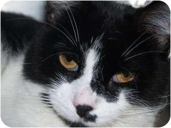 Domestic Shorthair Cat for adoption in El Cajon, California - Flynn
