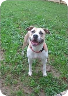 American Pit Bull Terrier Mix Dog for adoption in Clarksburg, Maryland - Tink