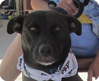 Labrador Retriever/Collie Mix Dog for adoption in Lincolnton, North Carolina - Cocoa
