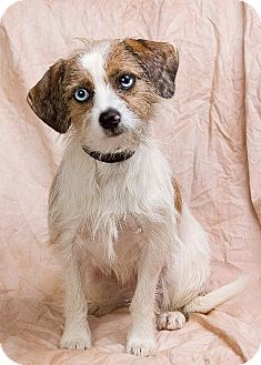 Terrier (Unknown Type, Small) Mix Dog for adoption in Anna, Illinois - BLUE EYES