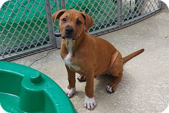 Boxer Mix Puppy for adoption in Minneola, Florida - Riley
