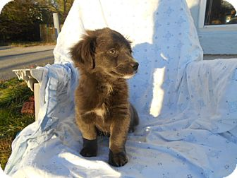 Pekingese/Shih Tzu Mix Puppy for adoption in Rochester, New Hampshire - Blue