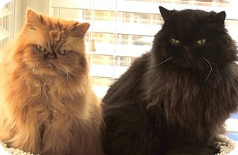 Persian Cat for adoption in Portland, Oregon - Mina and Mati