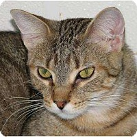 Domestic Shorthair/Domestic Shorthair Mix Cat for adoption in Woodstock, Illinois - Poptart