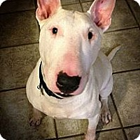 Adopt A Pet :: Stevie Ray - Sachse, TX