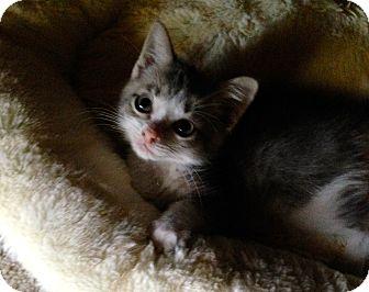 Domestic Shorthair Kitten for adoption in Fort Worth, Texas - Monkey