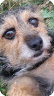 Yorkie, Yorkshire Terrier Mix Dog for adoption in Yelm, Washington - Winston