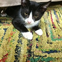 "Domestic Shorthair Cat for adoption in Deerfield Beach, Florida - Chava aka ""Cha Cha"""