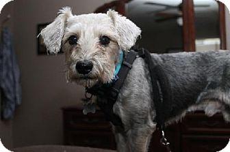 Silky Terrier/Terrier (Unknown Type, Medium) Mix Dog for adoption in London, Ontario - Sambuca